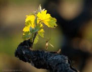 vinography_desktop_leafing_out-thumb-600x468-586