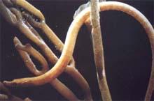 Alfiler (Nerophis ophidion)