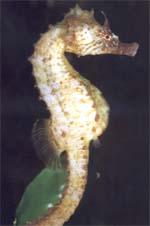 Caballito de mar común (Hippocampus hippocampus)