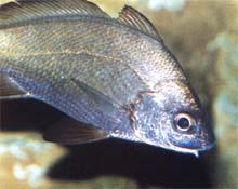 Verrugato de fango (Umbrina canariensis)