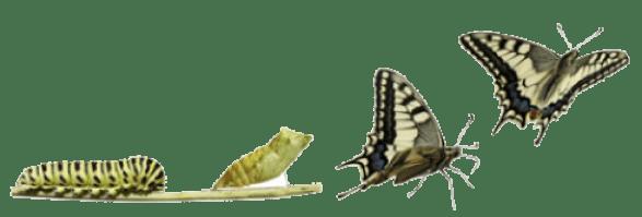 Metamorfose bij Euthalia Wellness (van rups naar vlinder)