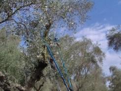 pettinatura olivo 1