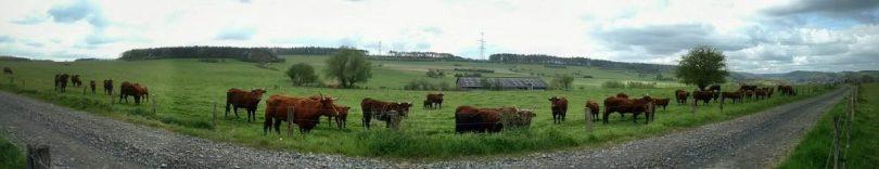Cows_wallonia_xhignesse