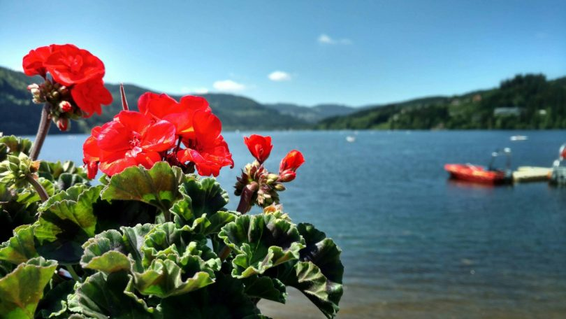 Titisee_red_flower