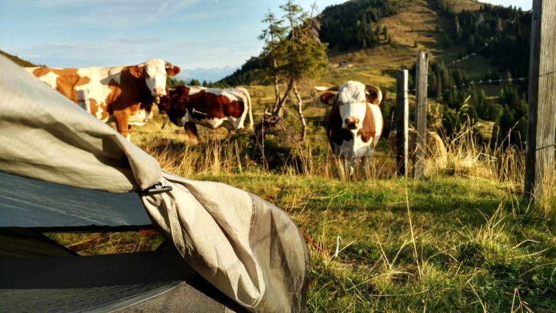 Goedemorgen_koeien