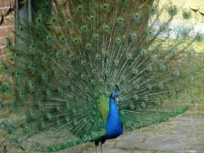 peacock-950536_960_720