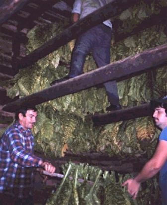 Tobacco Sticks Story - Evan Silberman NYC - Into the rafters for curing