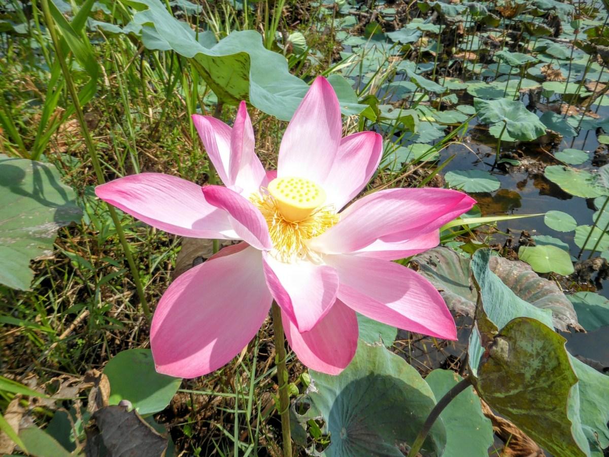 La Malaisie, hors des sentiers touristiques – Le Lac Chini et Cherating