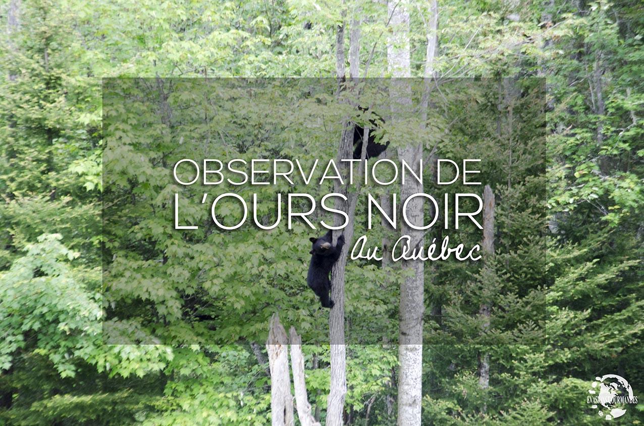 Ours noir Québec