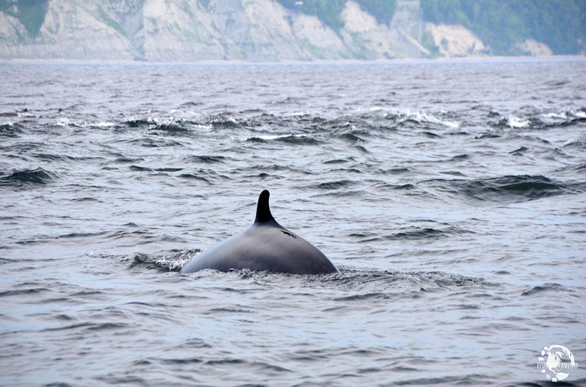 zodiac baleine Tadoussac