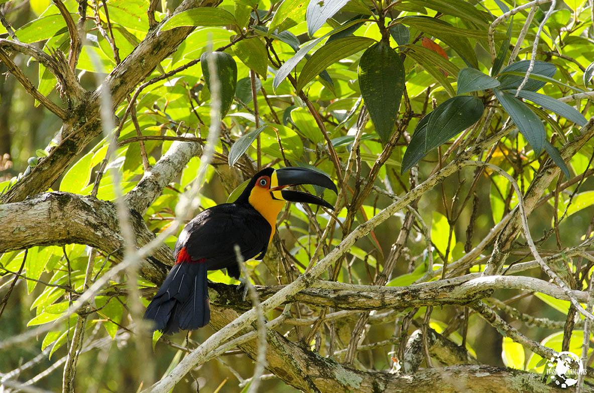 Toucan Brésil