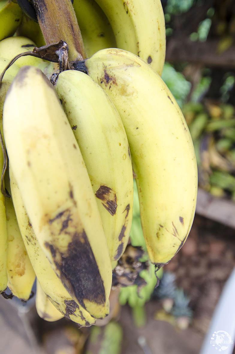 Banane République Dominicaine