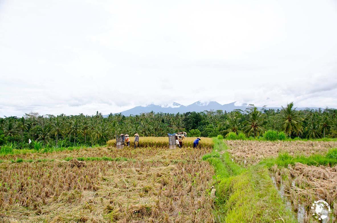 Rizières de Payangan