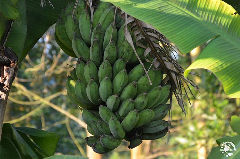 Plan de bananes