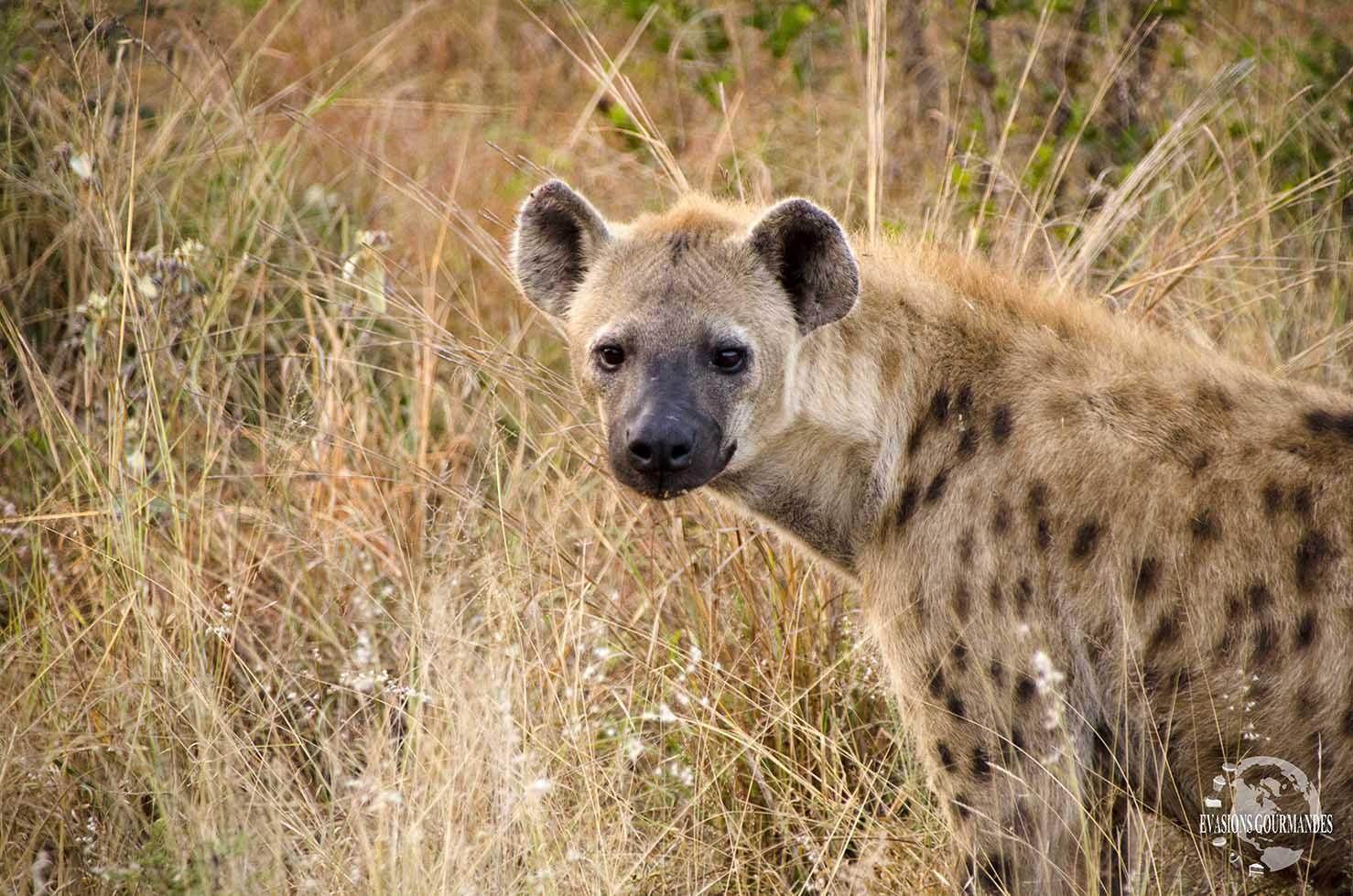 faire son safari tout seul au parc Kruger