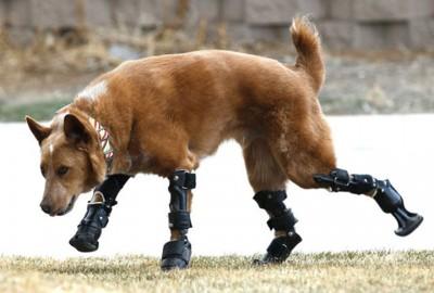 15_Futur - Les animaux handicapés retrouveront leur joie de vivre grâce à des prothèses conçues sur mesure..?!