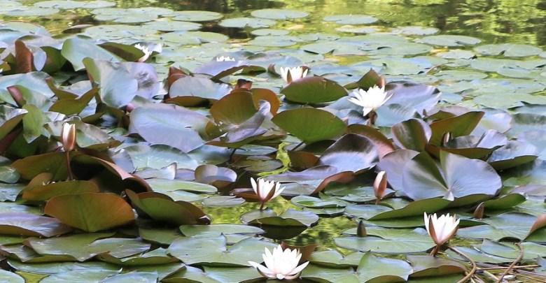 ninfee al Lago di Sant'Agostino