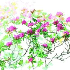 Margherita Leoni_Rhododendron ferrugineum