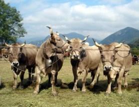 Mucche fiera Doccio