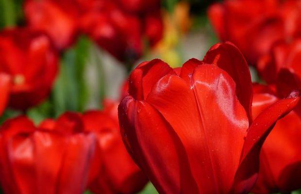 Ab Oster-Samstag (15.04.) heißt es wieder: Tulipan im Britzer Garten