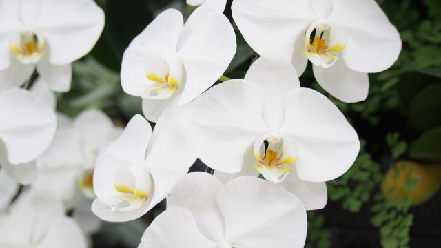 11月25日 誕生花 コチョウラン