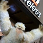 Wampa visits Verizon Wireless in St Pete for the Droid 2 r2-d2 edition launch at midnight