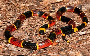 The North American Coral Snake