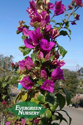 Bougainvillea Spectabilis Staked Bush Evergreen Nursery