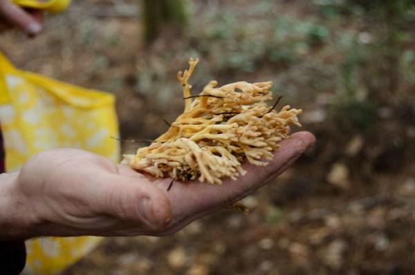 Coral mushrooms: Learning to identify edible mushrooms in California.