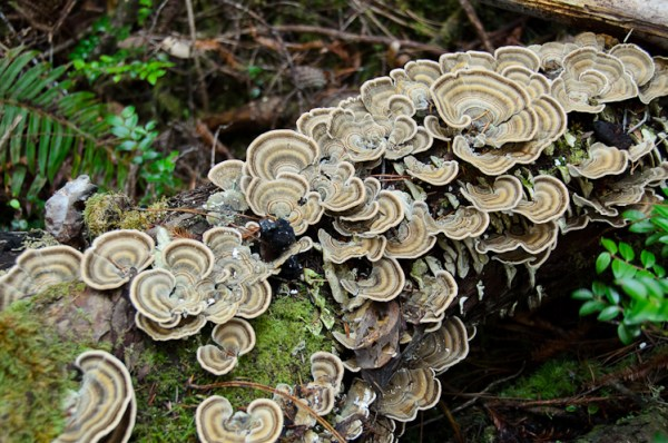 Turkey tail mushrooms: Learning to identify edible wild mushrooms in California.