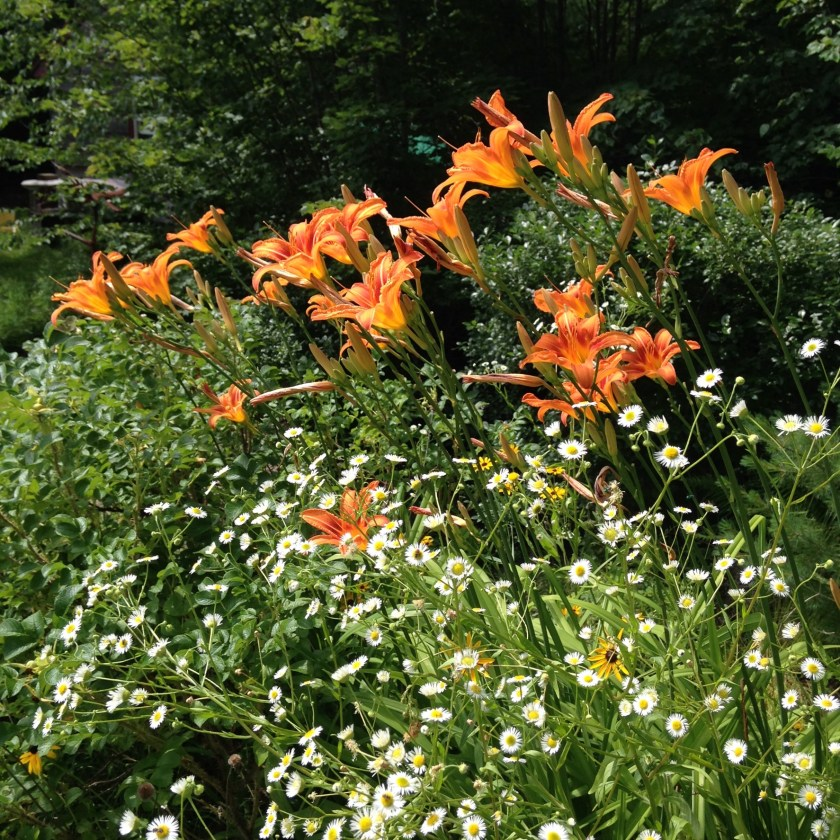 Day lilies gone wild!