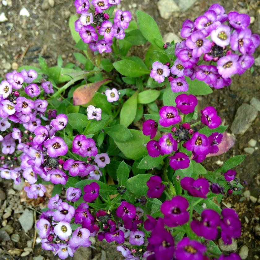 Alyssum is beloved by our bees and butterflies.