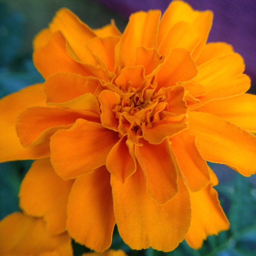 Common marigold.