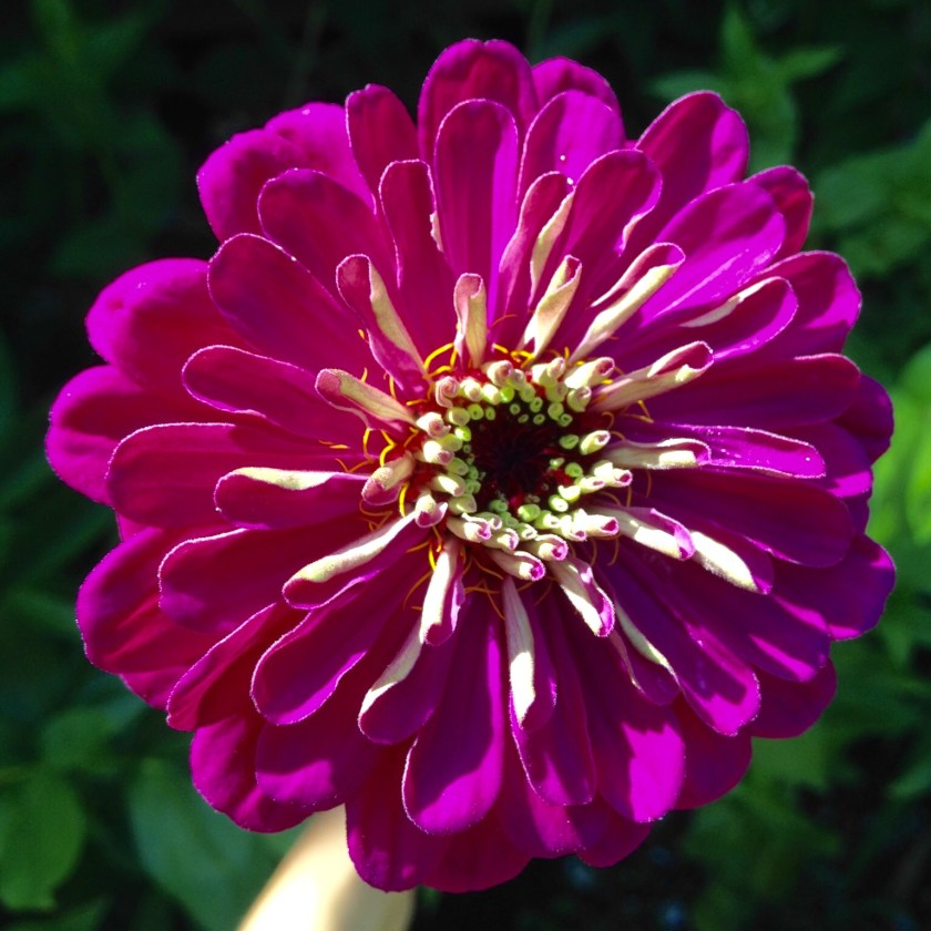 Annuals like zinnias can take center stage!