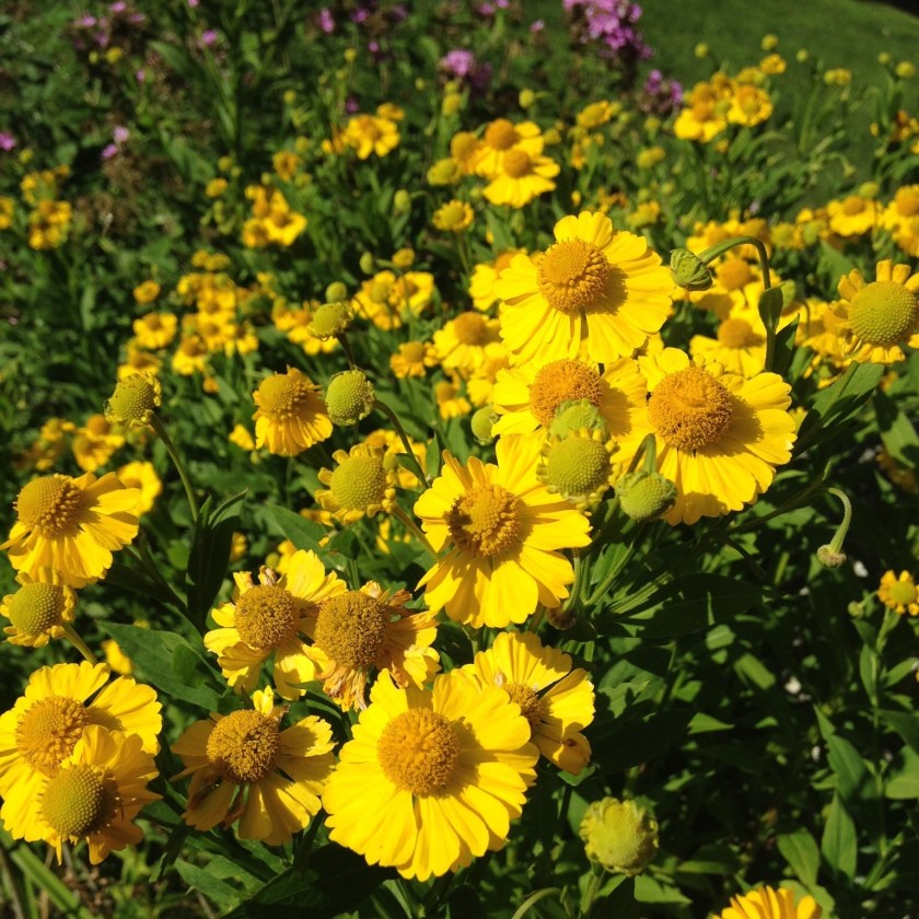 Helenium or sneeze Weed!