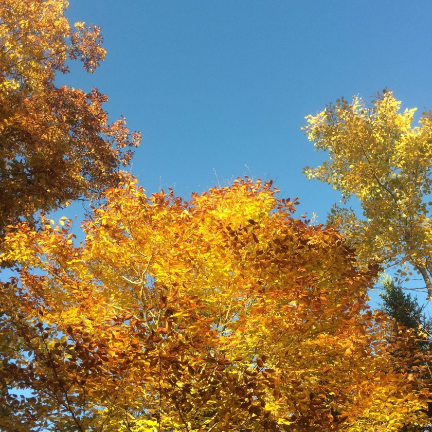 Golden leaves against the clear blue sky.