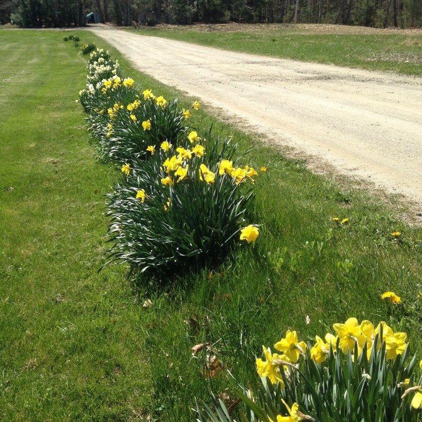 Daffodils naturalized along a roadway.