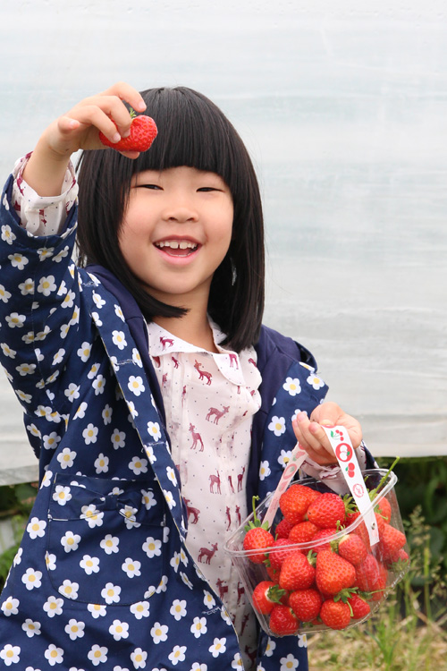 strawberry_picking