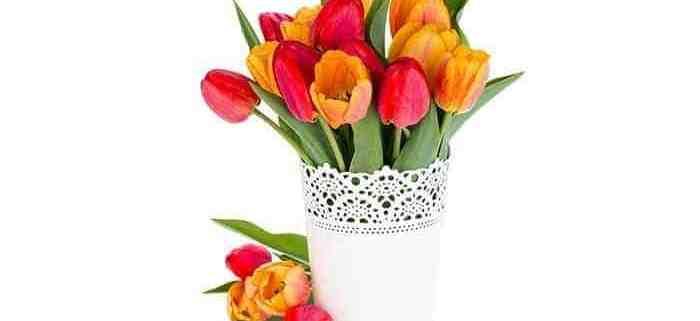 cut-flower-tulips-white-vase-white-background