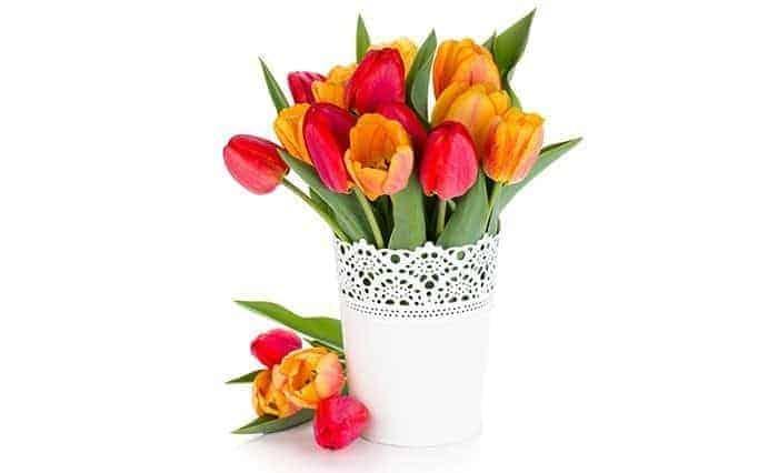 cut-flowers-tulips-white-vase-white-background