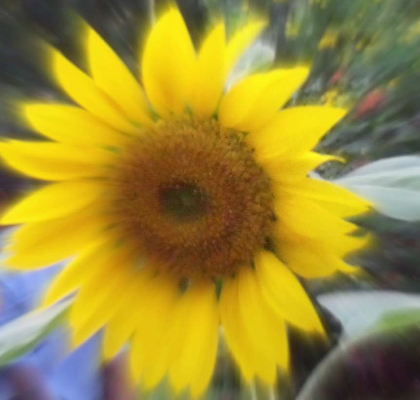 Tina's Sunflowers #LifeIsGood #MicroblogMondays