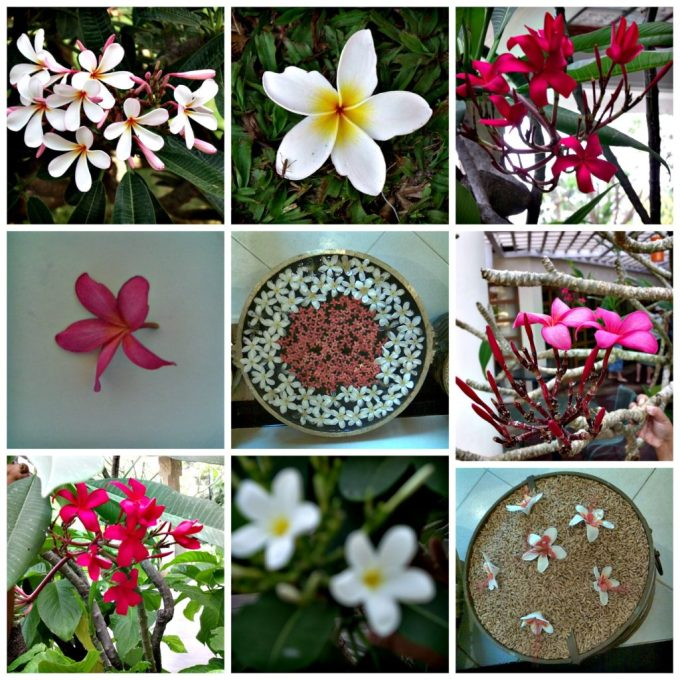 home everyday gyaan frangipani