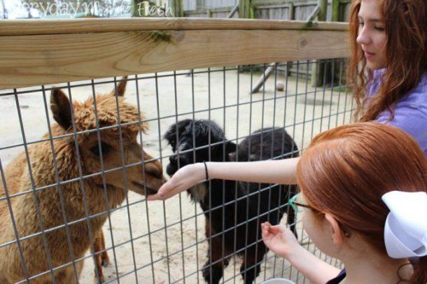 Alabama Gulf Coast Zoo, Gulf Shores Alabama | EverydayMadeFresh.com