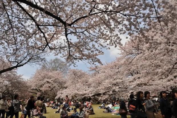 Shinjuku Gyoen Sakura by Marufish (CC BY-SA 2.0)