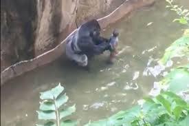 Gorillas and sin make bad pets