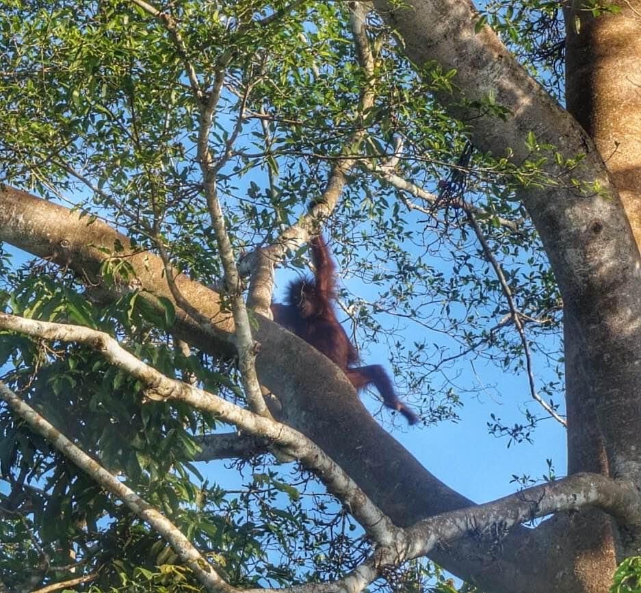kinabatangan-sabah-borneo-orangutan