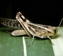 A picture of a True Locust