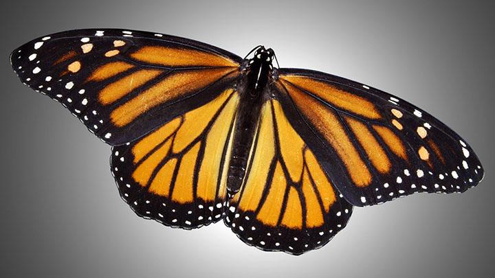Monarch Butterfly - 720
