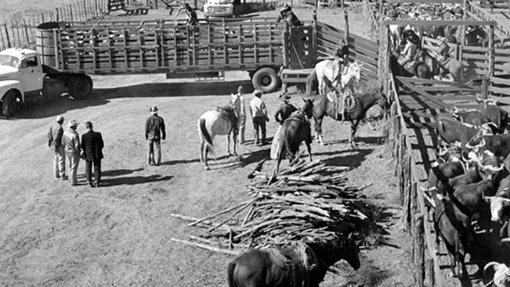 Cattle Breeds History Photo - 720_1547480692645.jpg.jpg