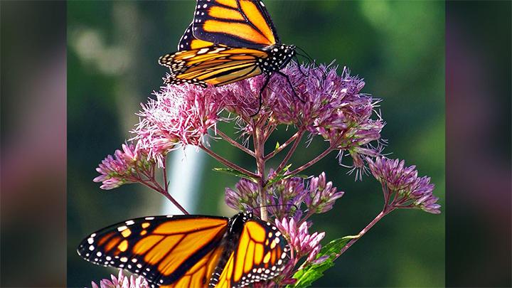 Butterflies - 720